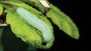 This cabbage butterfly caterpillar munches on an Arabidopsis leaf