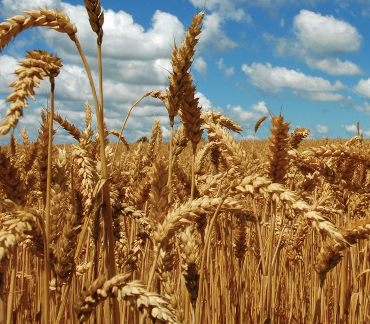 What's Next for Wheat?