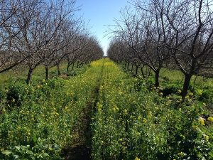 Between rows of almond trees at Bayer CropScience's Western Bee Care Technology station in Fresno, California, this brassica seed mix is being tested for its attractiveness to bees.