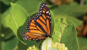 Monarch butterflies cannot survive without milkweed as its the only food source for monarch caterpillars.