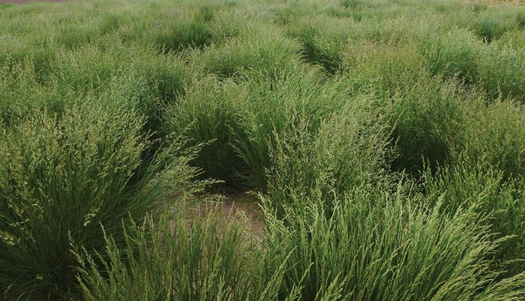 This breeder block allows DLF Pickseed researchers to evaluate the yield potential of tall fescue. Photo: DLF Pickseed.