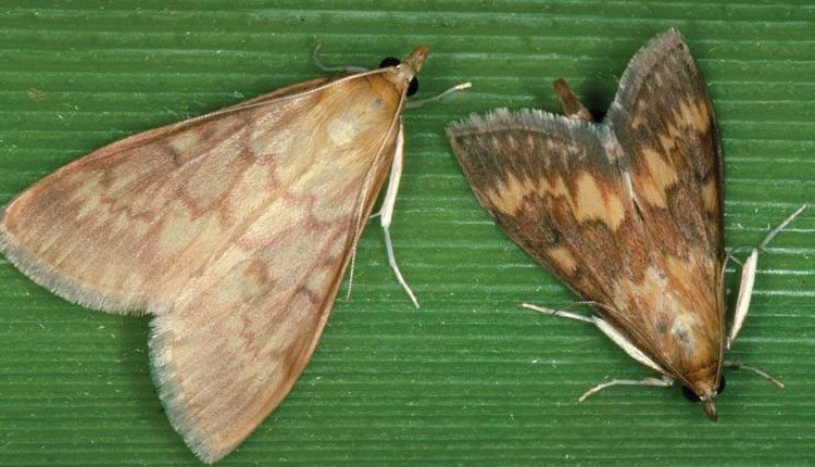 Female moths are pale yellow-brown with irregular darker bands running in wavy lines across their wings. Male moths are distinctly darker and usually smaller.