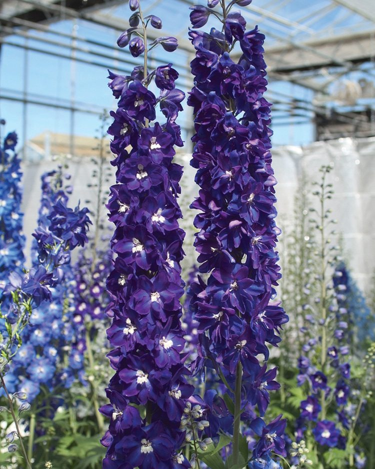 The Candle delphinium from Sakata comes in a variety of shades.