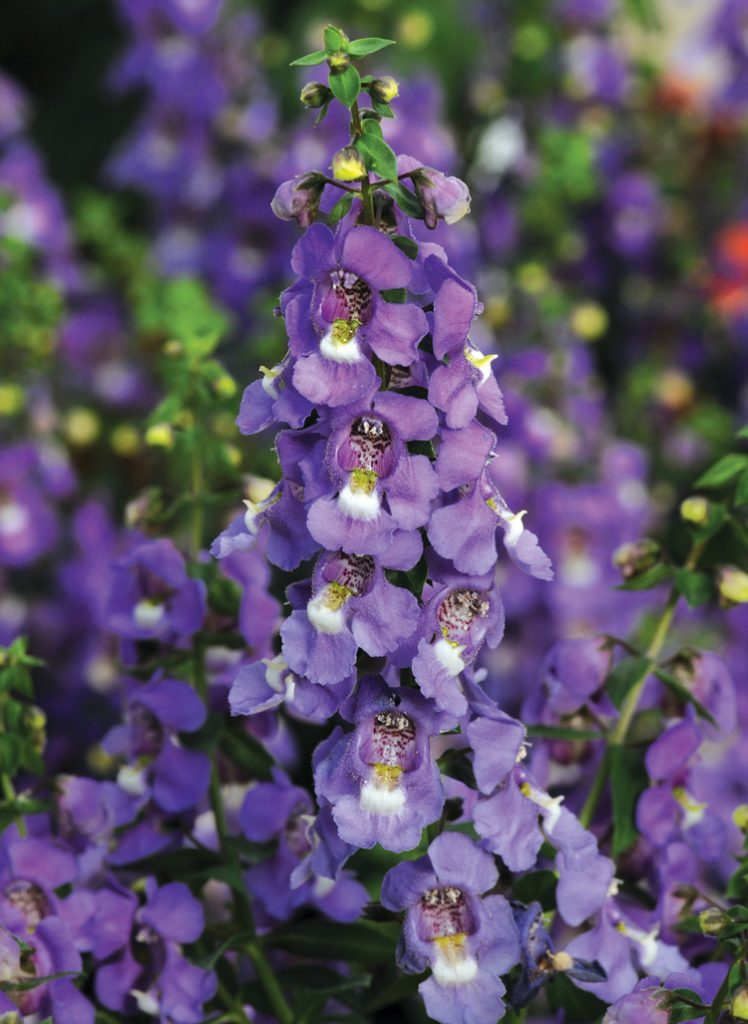 Serena, the first seed-grown angelonia, fills gardens, landscapes and mixed containers with unique dimensional color. Photo: PanAmerican Seed