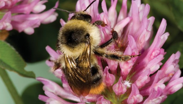 Farmers can help by planting forage species for bees. Photo: Syngenta.