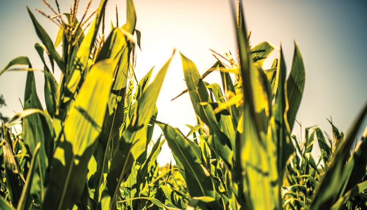 Corn Hybrids with High Yields Come with More Variability
