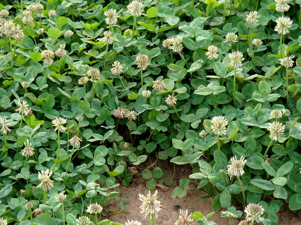 A New White Clover To Renovate Southern Pastures Seedworld