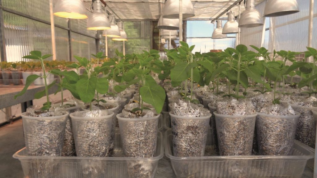 Lab testing method for nodulation in one of the Biagro glasshouses