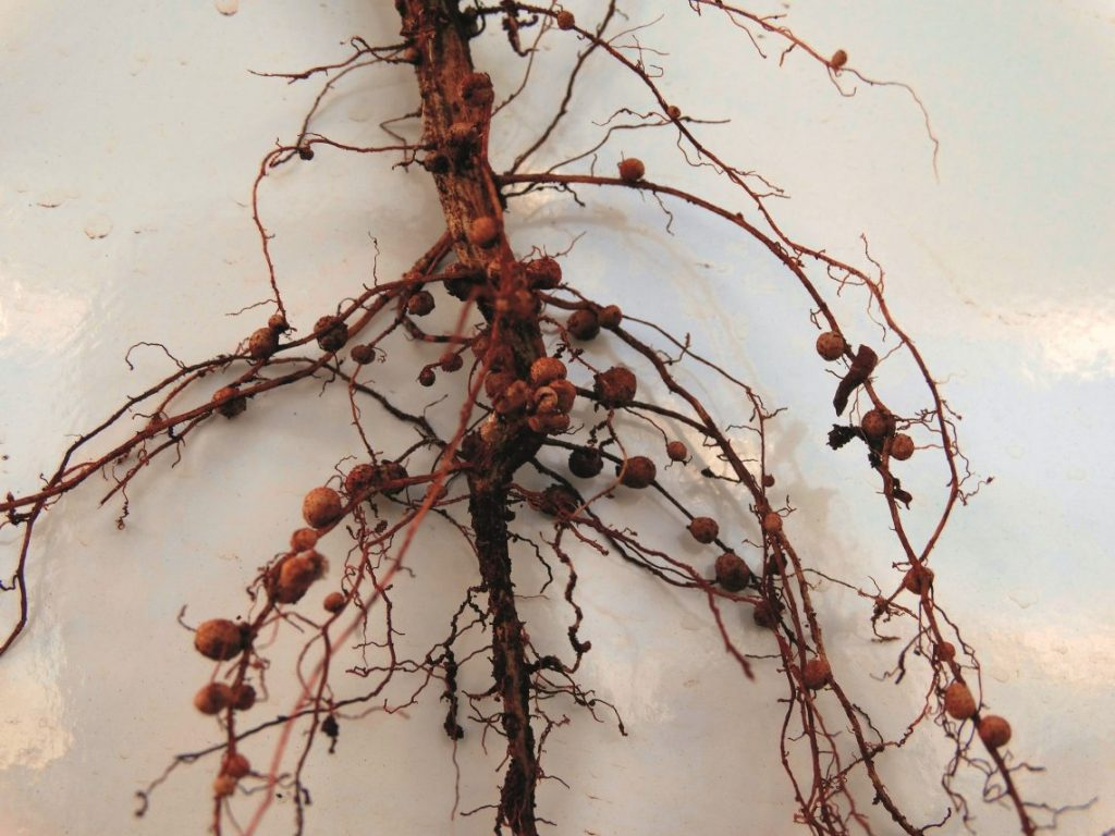 The bacterium enters the root of a young soybean plant. The root responds by forming nodules.