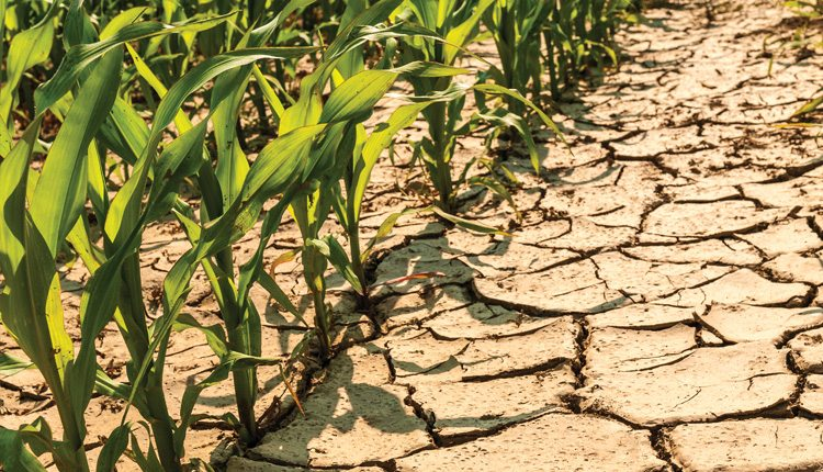Climate change is expected to bring a mix of competing effects, including hot, dry temperatures which can lead to stressed corn.