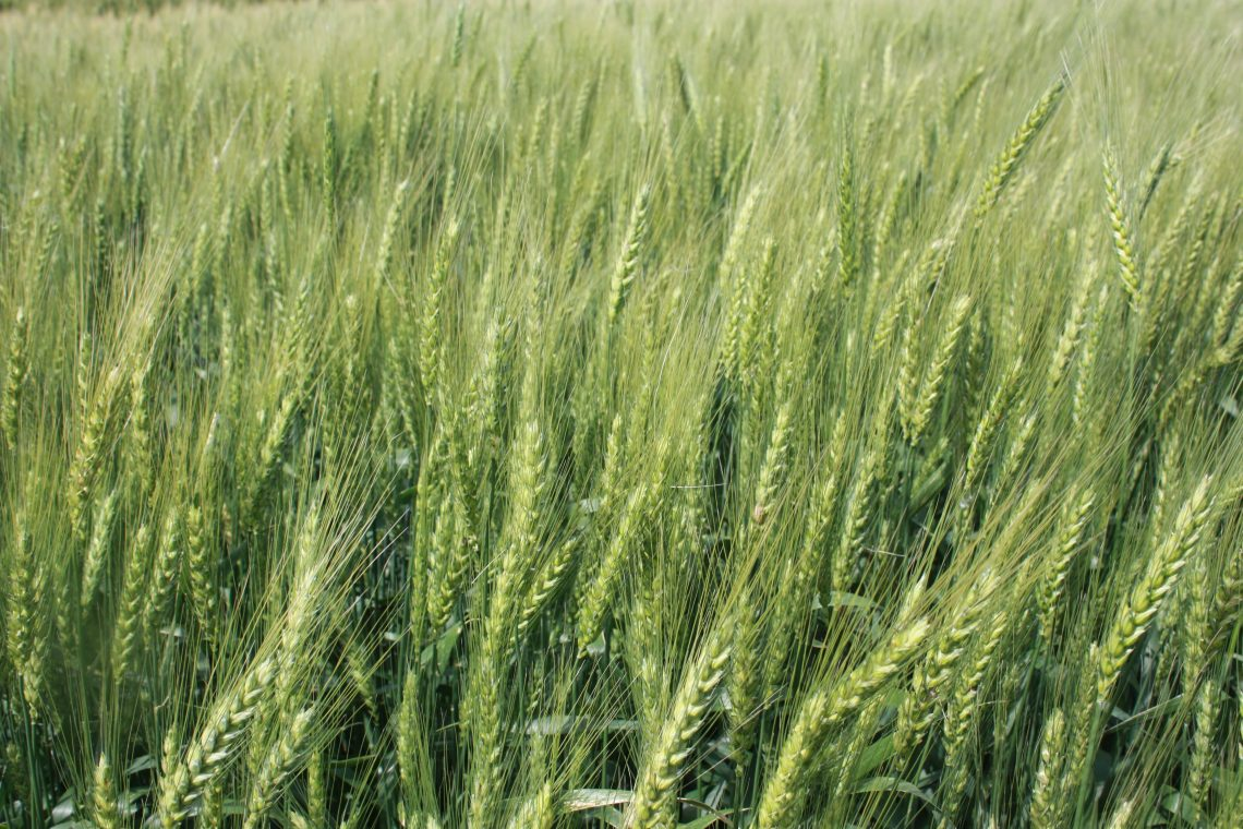 What Drives Oklahoma Wheat Breeding?