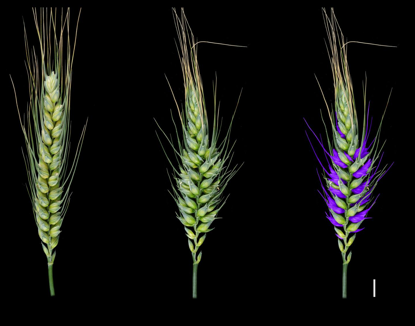 Wheat Discovery Could Shape Future Crops