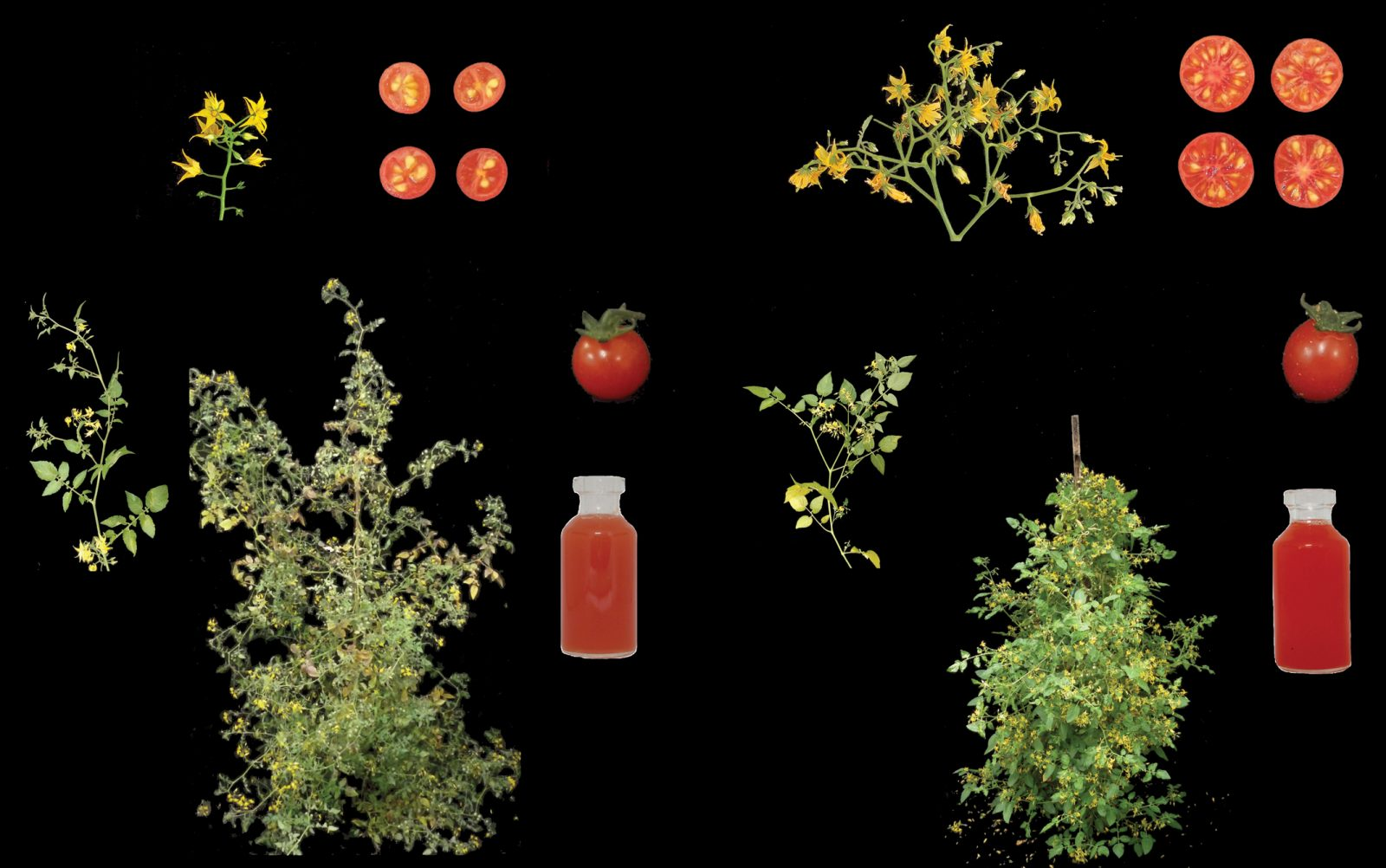 Pioneering Biologists Create a New Crop Through Genome Editing