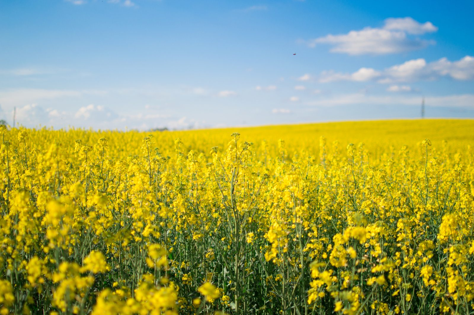 Canola's Success Lies in Evolving as a Global Player