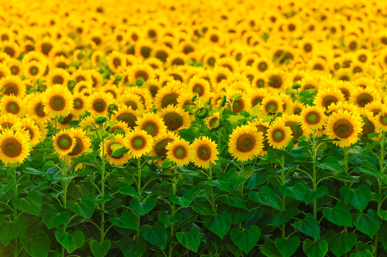 A Sunny Future for Sunflowers