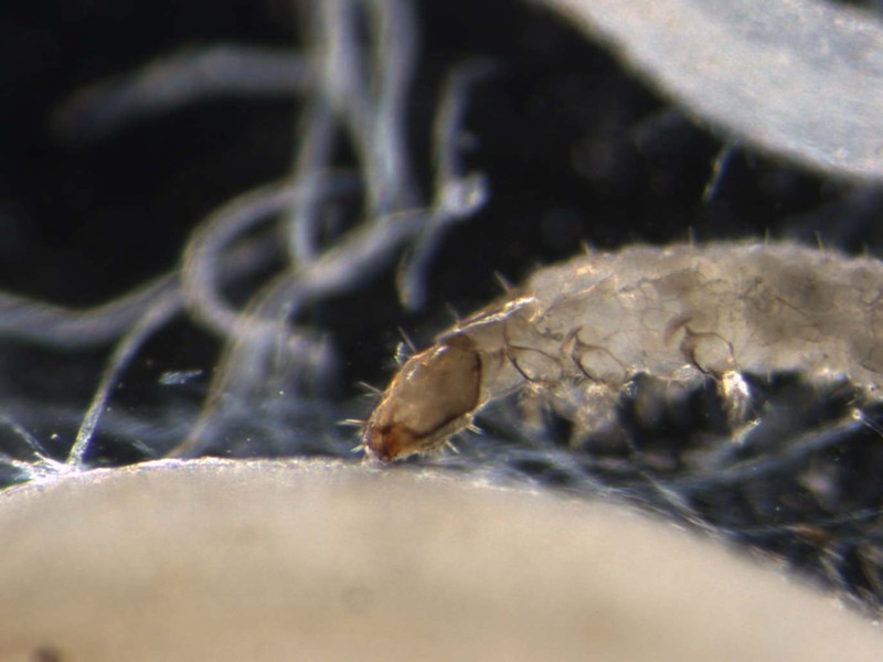 Researchers Discover Corn Plants Call Hungry Nematodes When Resistant Rootworms Attack